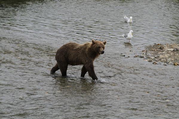 Katmai National Park  8/2013